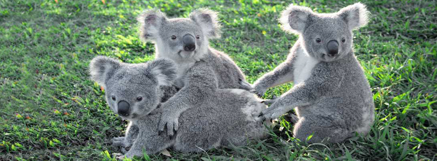 Photograph of three cute koalas sitting on the grass